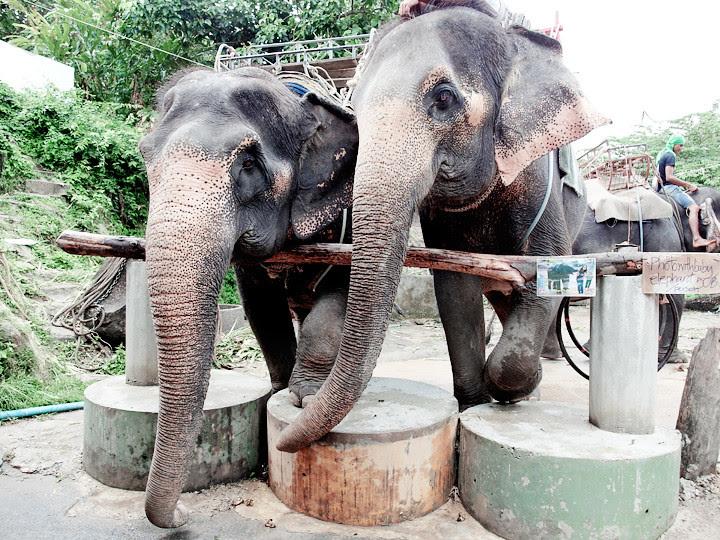 phuket elephant riding typicalben 15