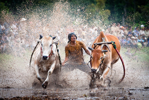 Cow Race Indonesian style (Pacu Jawi) por Peter Pham Photography
