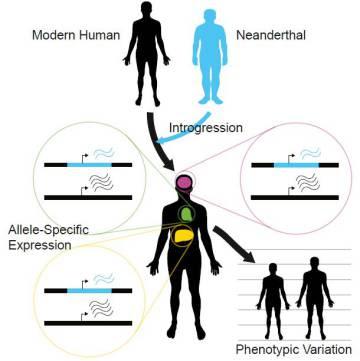 Los neandertales siguen vivos en nuestro genoma