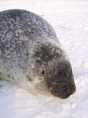 Ringed seal (Phoca hispida) portrait