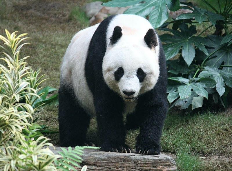 File:Grosser Panda.JPG