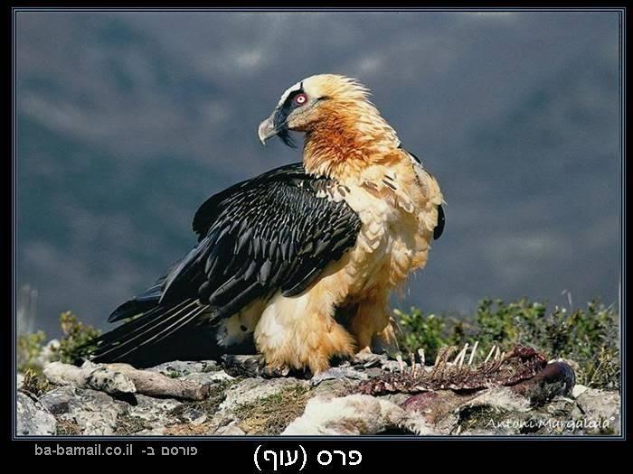 עופות דורסים, טבע, פרס