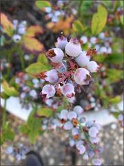 Blueberries 2008