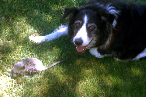 chief and the mystery rodent
