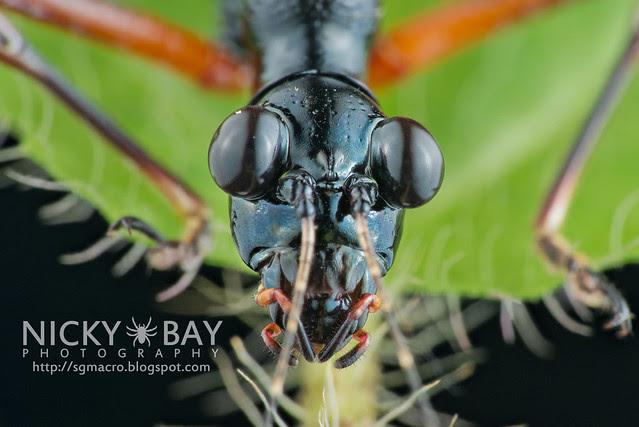 Tiger Beetle-Mimic Katydid (Condylodera tricondyloides) - DSC_1751