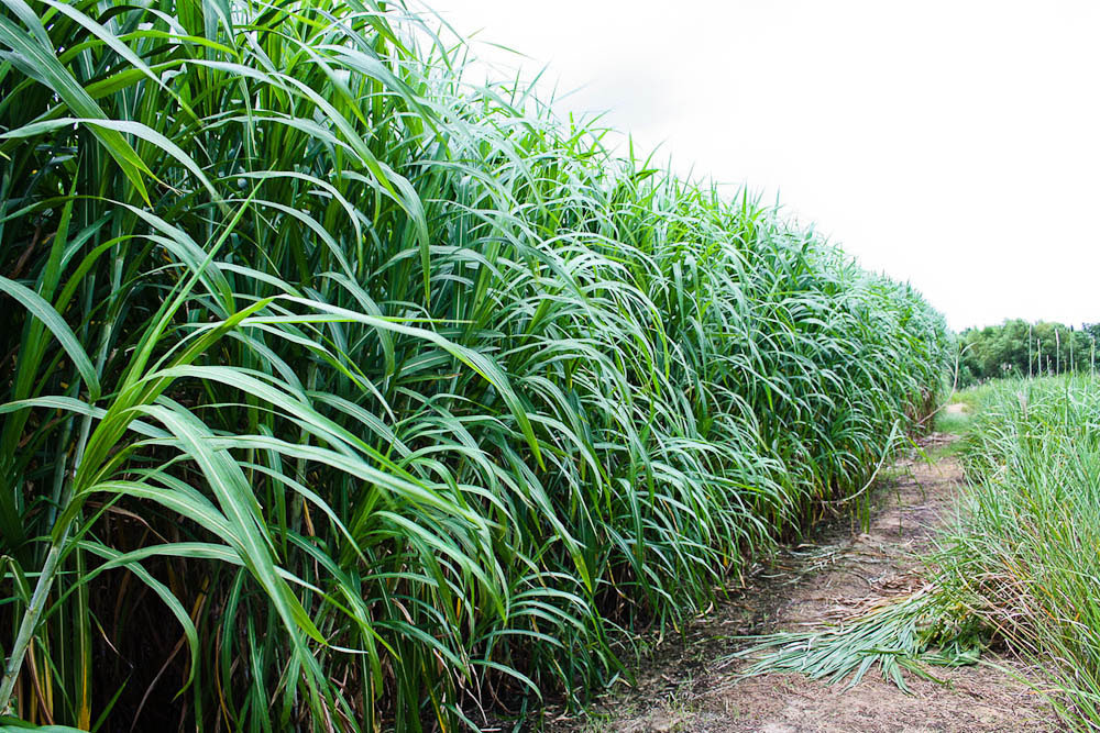 Resulta ng larawan para sa napier grass