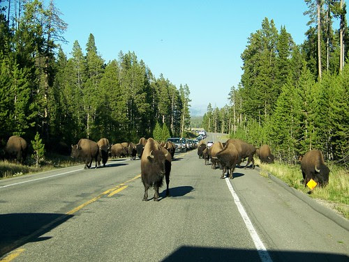 100_0999-Yellowstone NP-Bison on Road
