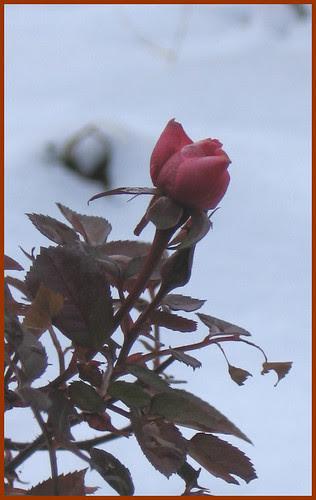 04 rosebud ok