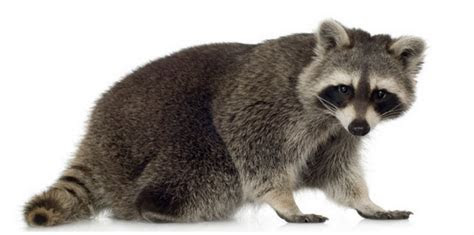 Raccoon   Facts, Pictures, Lifespan, Diet, Behaviour, Lifecycle, Appearance   Animals Adda