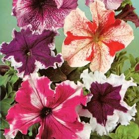 PETUNIA 'Giants of California' i gruppen Ettåriga blomsterväxter / Ampelväxter hos Impecta Fröhandel (390)