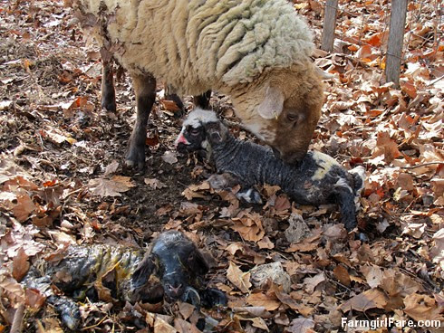 Helga cleaning up her newborn lambs (14) - FarmgirlFare.com