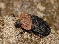 Oiceoptoma thoracicum (Silphidae)