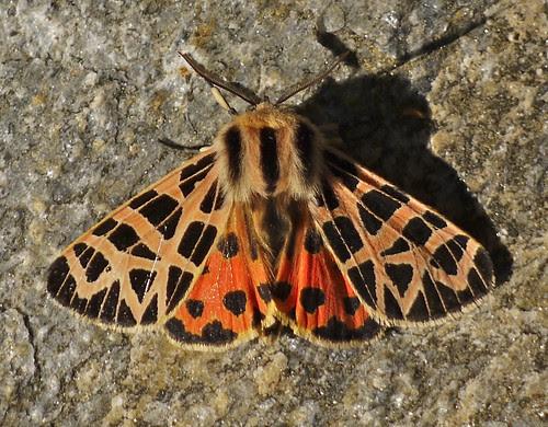 ornate tiger moth - grammia ornata