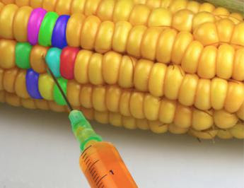 Risultati immagini per mais ogm