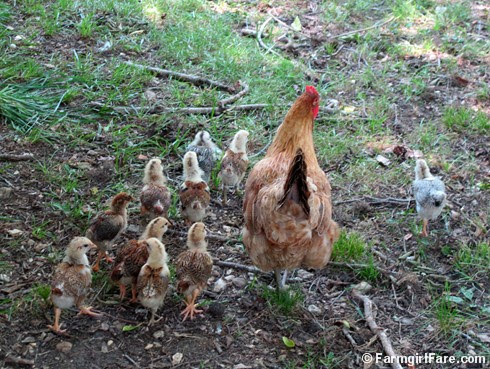Lokey and her ten chicks (2) - FarmgirlFare.com