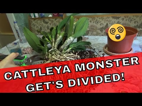 DIVIDING CATTLEYA ORCHIDS THE MONSTER CATTLEYA GETS DIVIDED