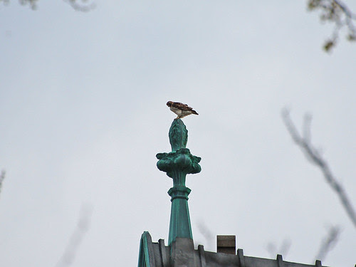Red-Tailed Hawk atop Cathedral