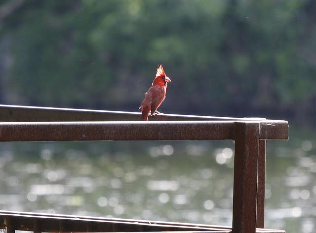 cardinal on railing