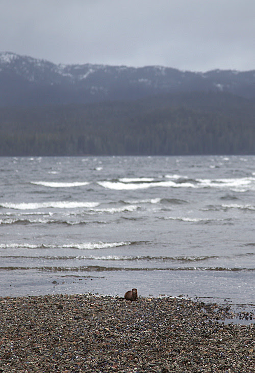 a mink on the shoreline, Kasaan, Alaska