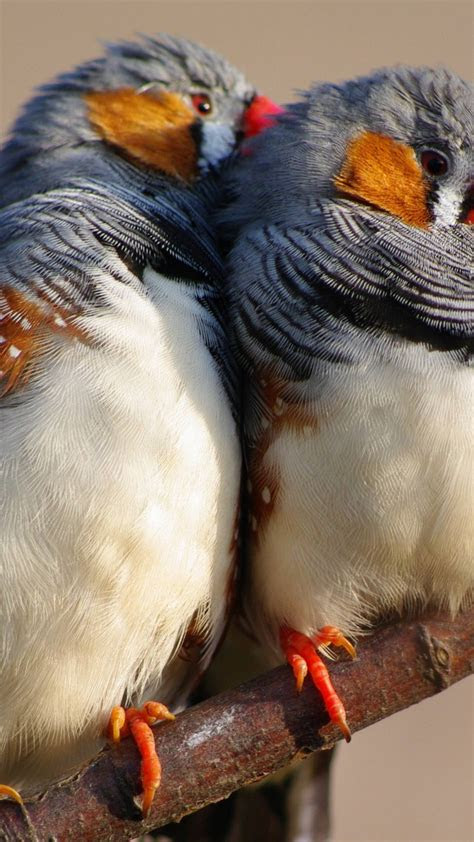 wallpaper zebra finch   wallpaper indonesia east