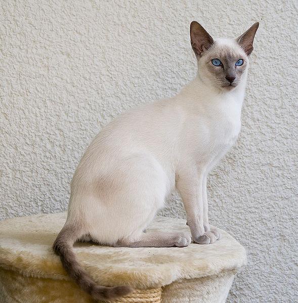 Identifying Cat Body Types