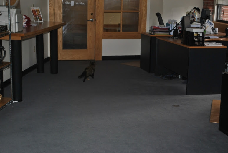 small tortie cat walking away from you in an open office