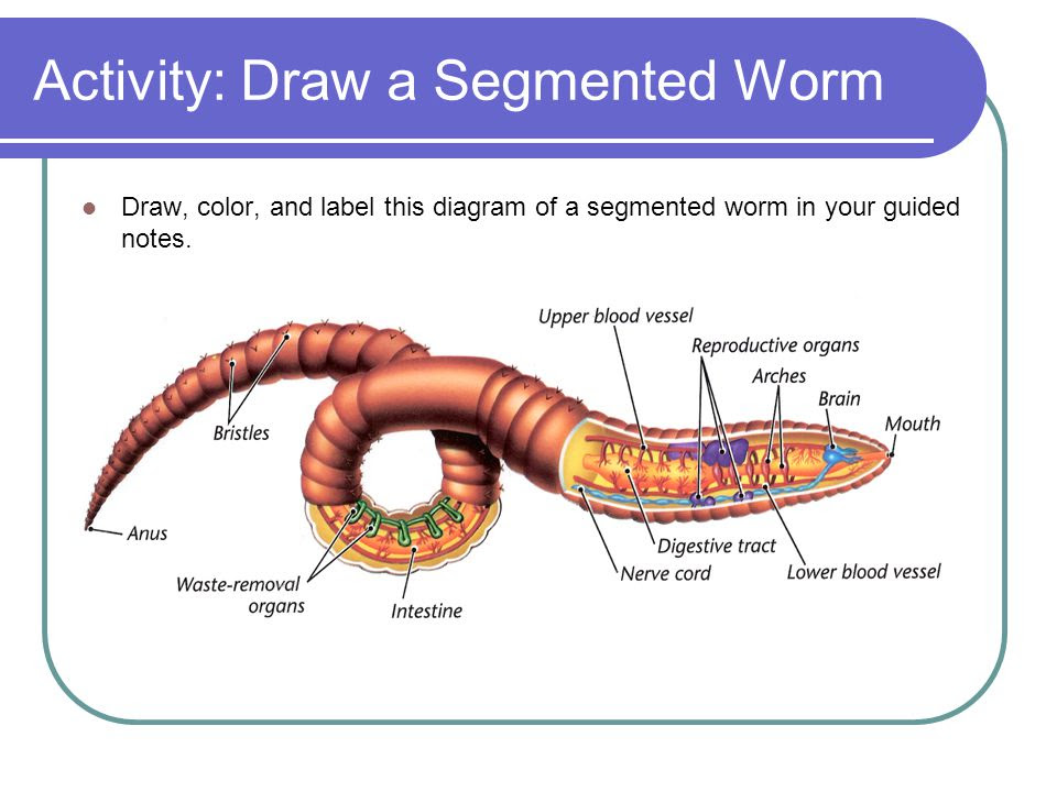Activity%3A+Draw+a+Segmented+Worm