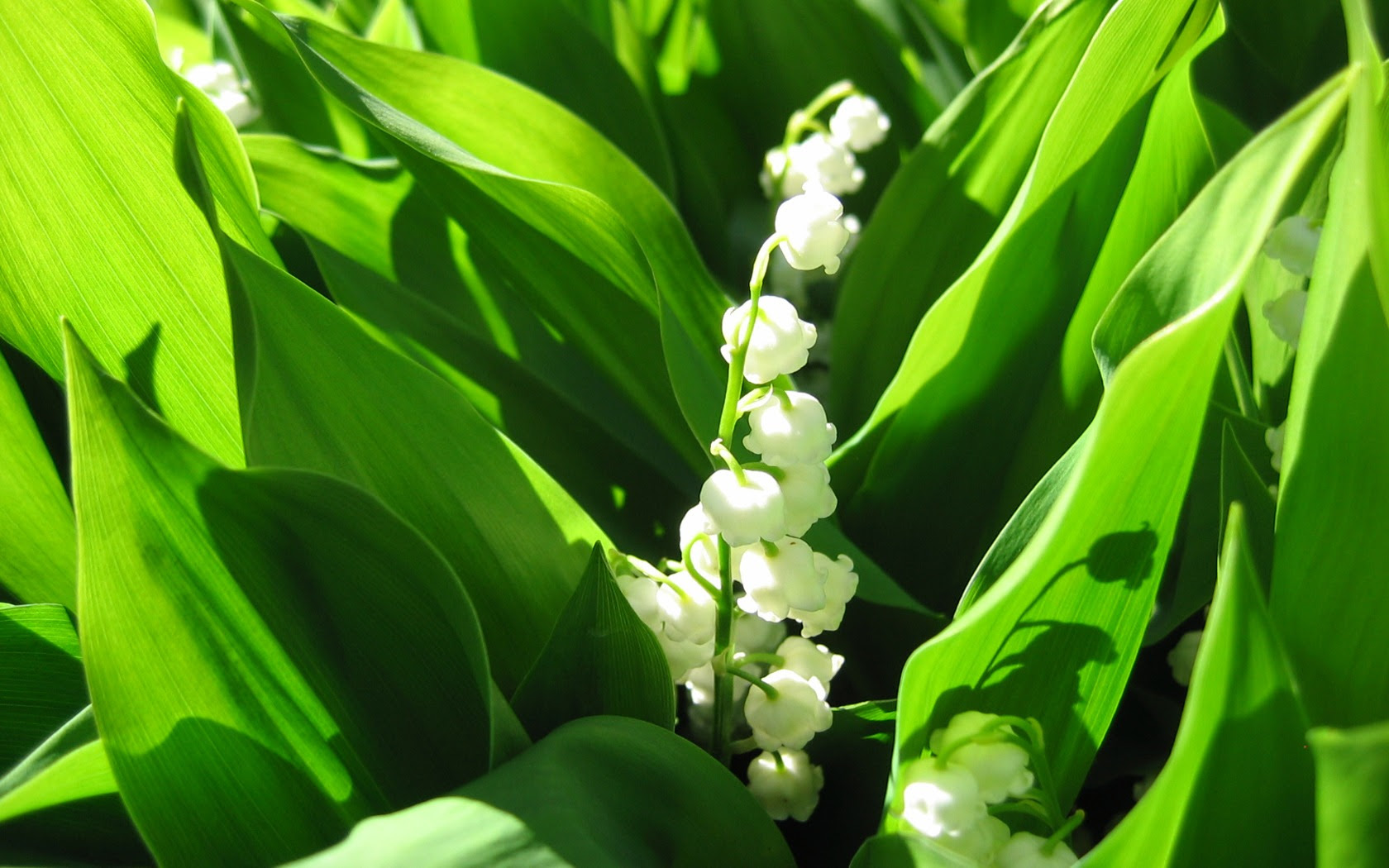 Lily Of The Valley Wallpaper Flowers Nature Wallpapers In Jpg