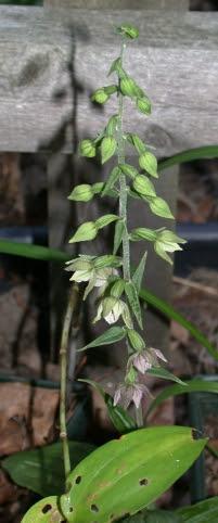 Epipactis helleborine in flower