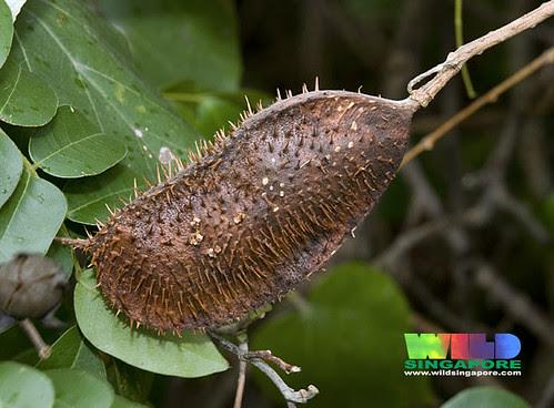 Bonduc (Caesalpinia bonduc) fruit pod