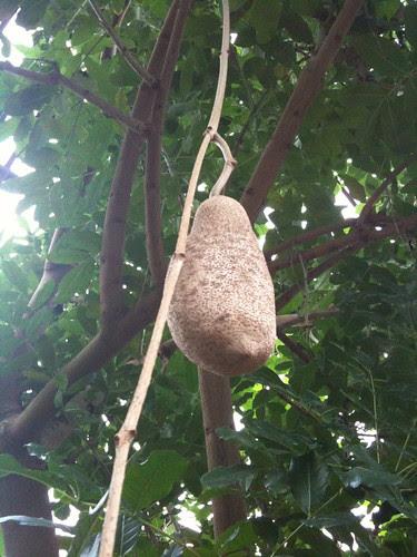 Sausage tree pod
