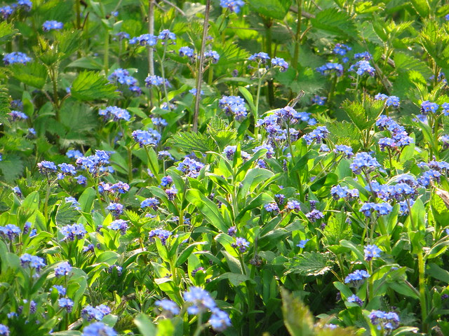 Forget-me-nots at the Sports Ground