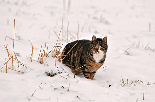 Cat in the snow by Tambako the Jaguar