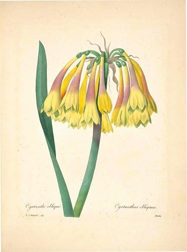 Cyrlanthus obliquus
