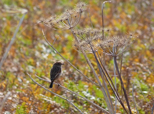 11542 - Stonechat on Autumnal Gower