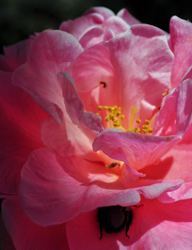 Camellia japonica 'K. O. Hester'