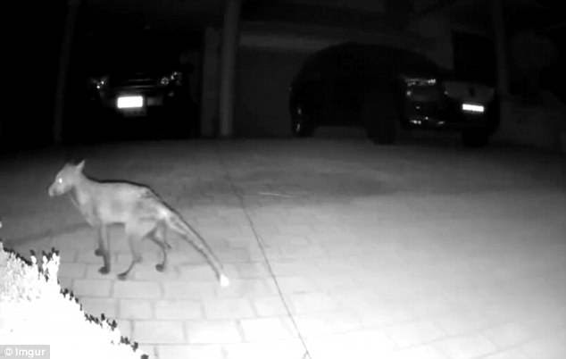 The unknown creature was spotted walking across the man's driveway at 2am