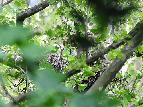 Highbridge Red-Tail Nest