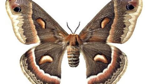 Varieties of Large Moths   Animals   mom.me