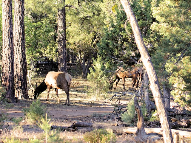 Elk browsing 20130618