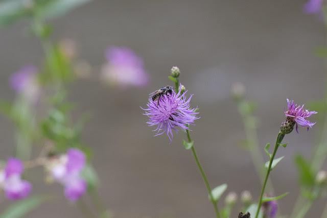 bee on purple 4
