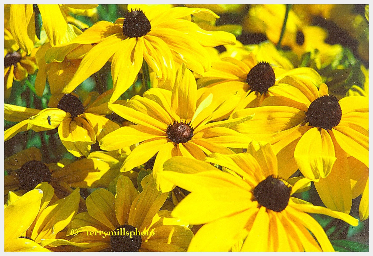 Sunny Sun Flowers In Bright Lemon Yellow With Brown Centers 5x7 - terrymillsphoto