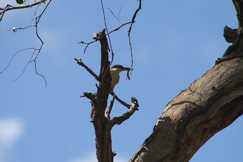 Sacred Kingfisher at Para Wirra