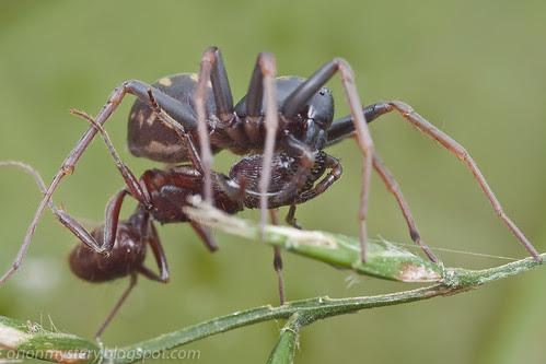 zodariid spider with ant prey IMG_1253 copy