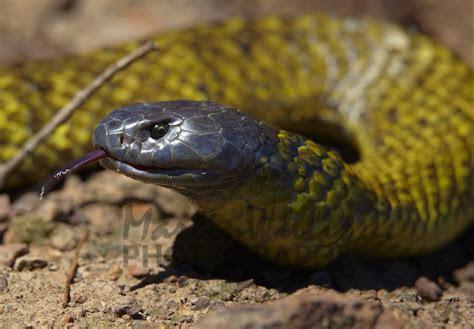Buy Tasmanian Tiger Snake  CU Image Online   Print & Canvas Photos   Martin Willis Photographs