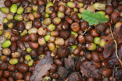 Collected acorns
