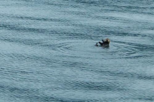 100_0376a-Sea Otter-Kenai Fjords NP with Renown Tours