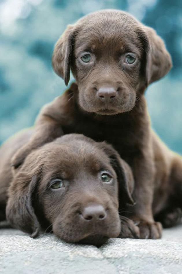 Labrador puppies, pups for sale, Northern Ireland, Field ...