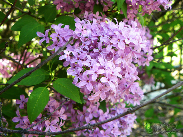 DSCN3297 Old Fashioned Lilac Blooms