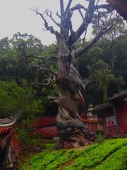 Ancient Cypress, Guangfu Temple, Xichang